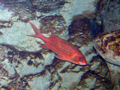 Common Squirrelfish