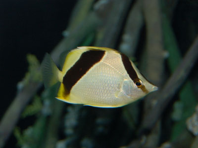 Bank Butterflyfish