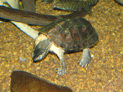 Red-necked Pond Turtle