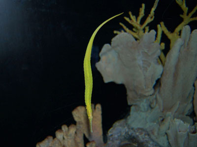 Alligator Pipefish