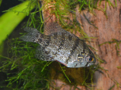 Black-banded Sunfish