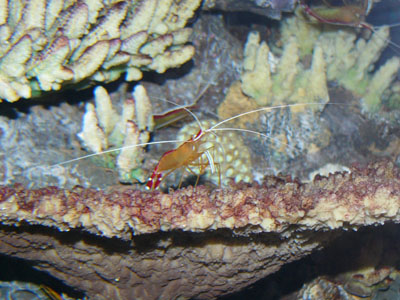 Humpback Cleaner Shrimp