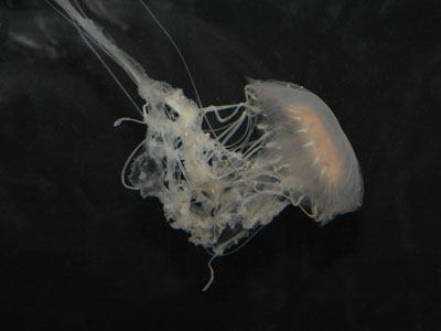 Atlantic Sea Nettle