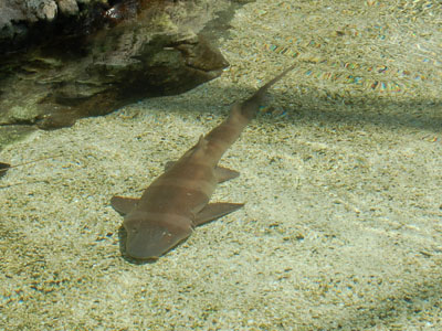 Brown-banded Bamboo Shark