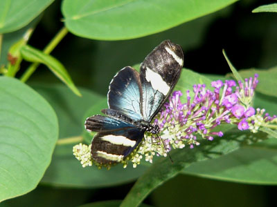 Small Blue Grecian Butterfly