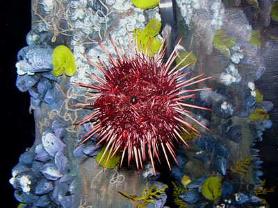 Red Sea Urchin
