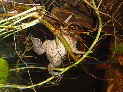 Common Surinam Toad