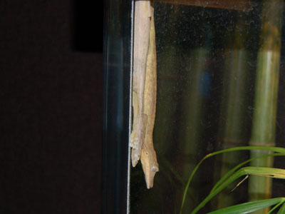 Lined Leaftail Gecko