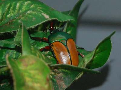 Jade-headed Buffalo Beetle