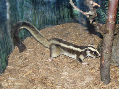 Striped Possum