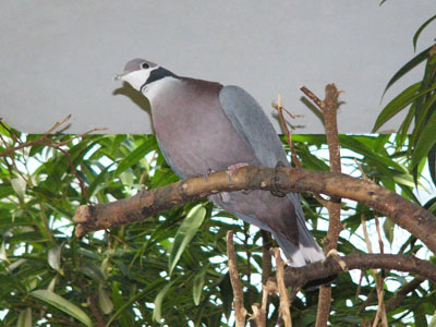 Collared Imperial Pigeon