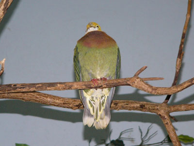 Ornate Fruit Dove