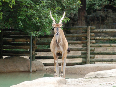 Central African Giant Eland