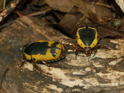 Yellow-bellied Chafer