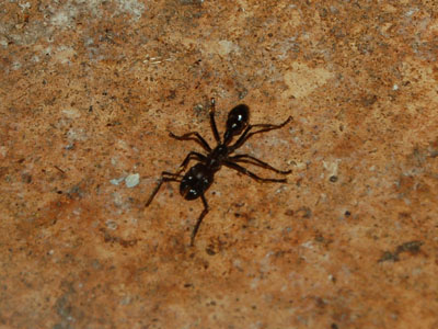Giant Tropical Bullet Ant