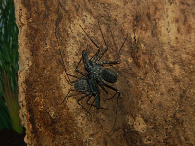 Cave Whip Spider