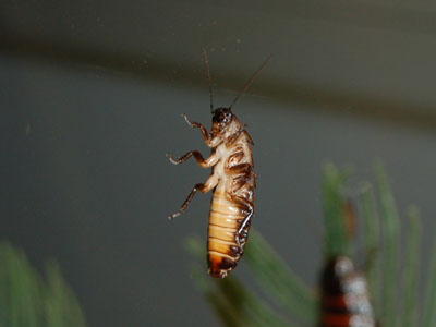 Madagascan Hissing Cockroach