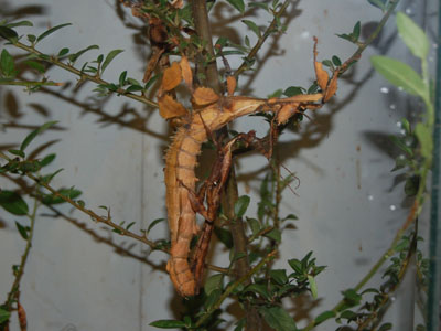 Australian Walking Stick
