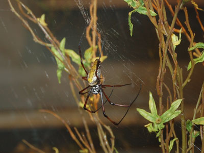 Madagascar Golden Silk Orb-weaver