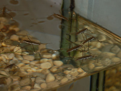 Marginatus Water Strider