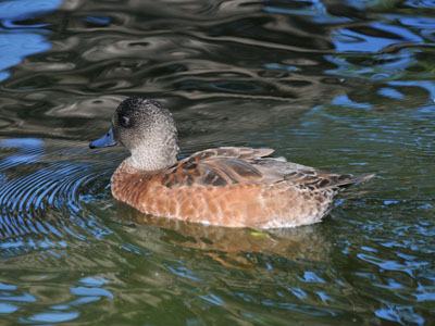 Unidentified Waterfowl