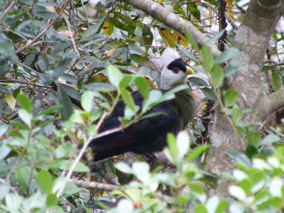 White-crested Turaco