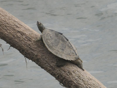 Unidentified Turtle