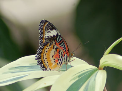 Malaysian Lacewing Butterfly