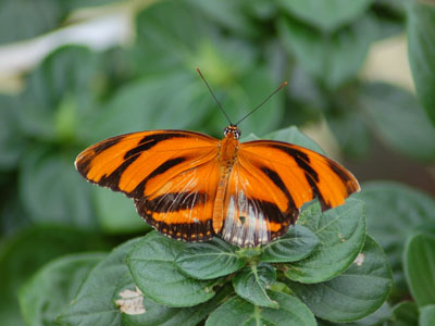 Banded Orange Longwing
