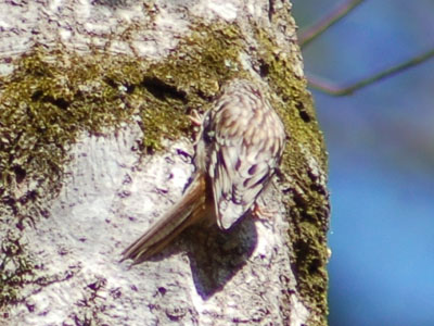 American Tree-creeper