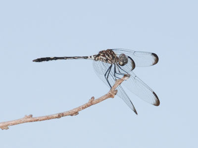 Swift Setwing Dragonfly