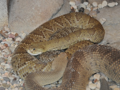 Mexican West Cost Rattlesnake