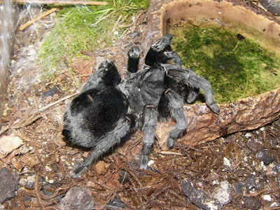 Giant Bird-eating Tarantula