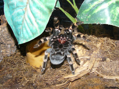Giant Trap-door Spider