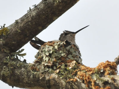 Ruby-throated or Black-chinned Hummingbird