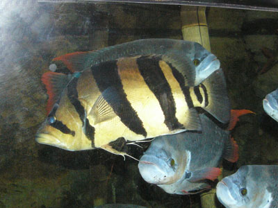 Four-barred Tiger Fish