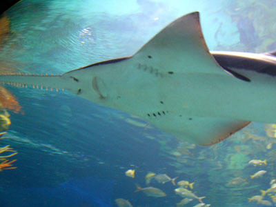 Unidentified Sawfish