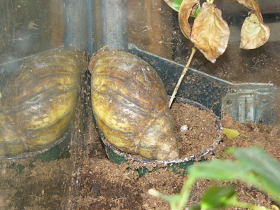 African Giant Land Snail