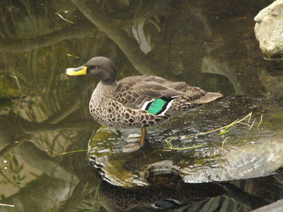 South African Yellow-billed Duck