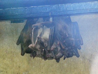 African Long-haired Fruit Bat
