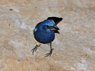 Blue-black Grosbeak