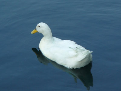 White Pekin Duck