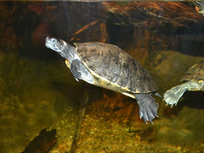 Texas Map Turtle