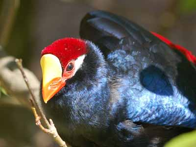 Violet Turaco