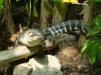 Schneider's Smooth-fronted Caiman