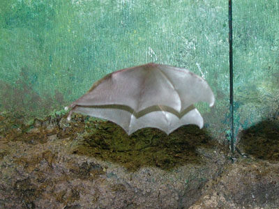 Long-tongued Nectar Bat