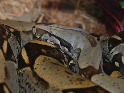 Peruvian Red-tailed Boa Constrictor