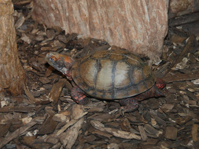 Mexican Box Turtle