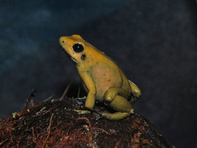 Black-legged Poison Dart Frog