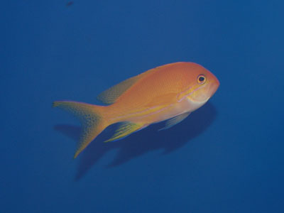 Unidentified Anthias
